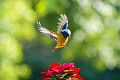 Male Daurian Redstart in flight,Phoenicurus auroreus Stock Image