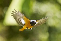 Male Daurian Redstart in flight,Phoenicurus auroreus Stock Photos
