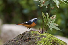 Male Daurian Redstart,Phoenicurus auroreus Royalty Free Stock Photo