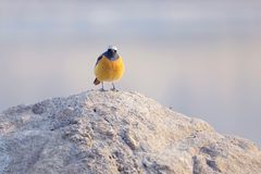 Daurian Redstart. A male Daurian Redstart stands on rock. Scientific name: Phoenicurus auroreus Royalty Free Stock Image