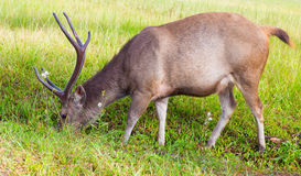 Male dear eating grass in forest camp Royalty Free Stock Photos