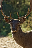 Male deer Stock Photo