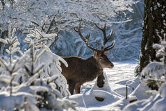 Male Deer Stock Images