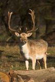 Male Deer. In the forest Stock Images