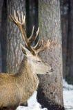 Male deer with antlers in the woods. Male deer with antlers in the snowed woods Royalty Free Stock Photos