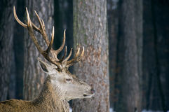 Male deer with antlers in the woods Stock Photos