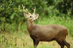 Male deer Royalty Free Stock Image