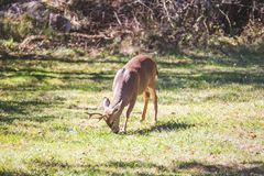 Male Deer or  Buck Feeding in Grass Stock Images