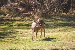 Male Deer or  Buck Standing in Grass Stock Image