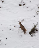 Male Deer on the run Royalty Free Stock Images