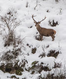 Male Deer Royalty Free Stock Photos