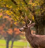 Male deer close Up on a Golf Course in the Fall Stock Images