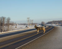 Male Deer  Crossing road. Male whitetail deer crossing the highway Royalty Free Stock Photos