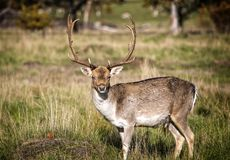 Male Deer Enjoying the Afternoon Sun royalty free stock images