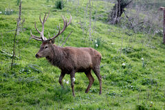 Male deer free in the mountain Royalty Free Stock Image