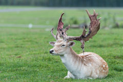 Male deer on a grass field Stock Image