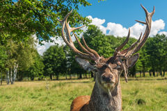 Male deer grazing in field Royalty Free Stock Images