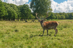 Male deer grazing in field Stock Photography