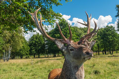 Male deer grazing in field Stock Image