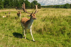 Male deer grazing in field Royalty Free Stock Photography