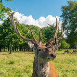 Male deer grazing in field Stock Images