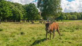 Male deer grazing in field Stock Photo