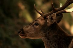 Male deer head. Adult male during mating season. Profile picture. Detail of the look royalty free stock photography