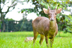 A Male Deer. A hoofed grazing or browsing animal, with branched bony antlers that are shed annually and typically borne only by the male Royalty Free Stock Photos