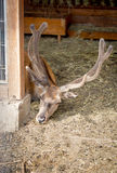 Male deer with long horns lying on hay at zoo Stock Photography