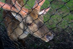 The female and male deer eat. The male deer looking to the people through the steel grid of the cage in the Novosibirsk zoo stock photos