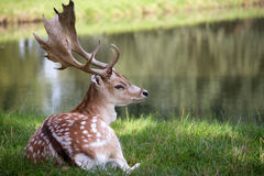 Male deer lying on the grass royalty free stock images