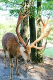 Male deer. In summet sun forest Royalty Free Stock Photography