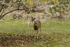 Male deer mugs for the camera. Royalty Free Stock Photography