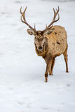 Male deer portrait while looking at you Royalty Free Stock Photography