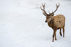 Male deer portrait while looking at you Stock Photography