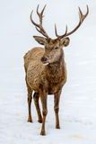 Male deer portrait while looking at you Stock Images