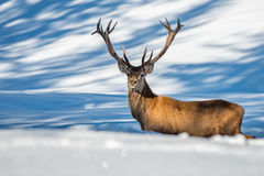 Male deer portrait while looking at you Stock Image