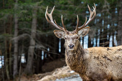Male deer portrait while looking at you Stock Photo