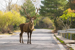 Male deer at the road of Parnitha mountain in Greece looking at the camera. A funny moment. stock photo