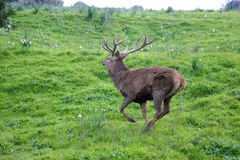 Male deer running free in the mountain Royalty Free Stock Photography