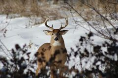 Male deer in snow Royalty Free Stock Image