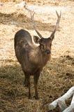 Male deer. Stock Photo