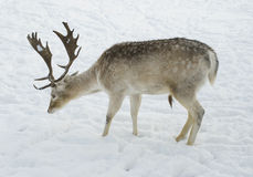 Male Deer standing in snow in profile Royalty Free Stock Images