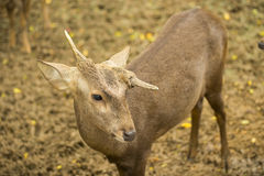 Male deer with Strange horn in the zoo ,Thailand Royalty Free Stock Images