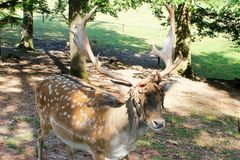Deer. Male deer in summer sun forest Royalty Free Stock Images