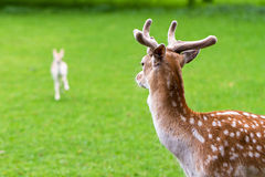 Male deer watching the young Stock Images