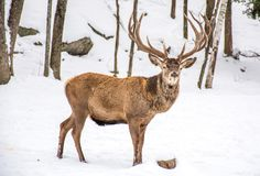 Male Deer in the Winter Woodland Covered of Snow, Woundering Wh stock photos