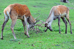 Male deers fighting. Two male deers fighting in autumn Royalty Free Stock Images