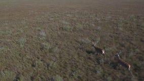 Male deers running in the bush, aerial view. Aerial view of 2 deers running over bush, Male animals stock video footage