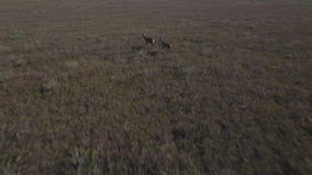 Male deers running in the smoothness, aerial view. Aerial view of 2 deers running over bush, Male animals stock video footage